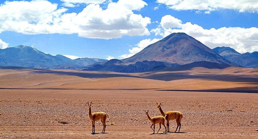 Güney Amerika'ya has vahşi lama guanacolara ev sahipliği yapıyor.