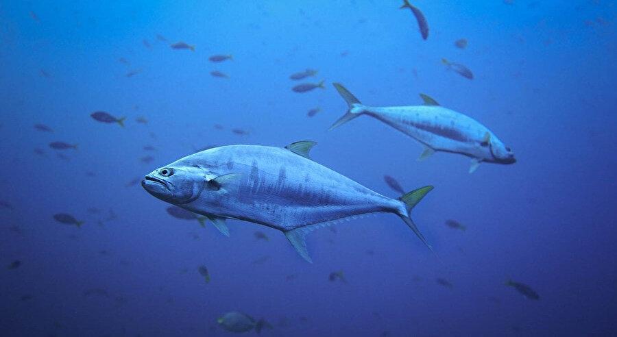 Ton balığı, okyanus balığı olarak da biliniyor.