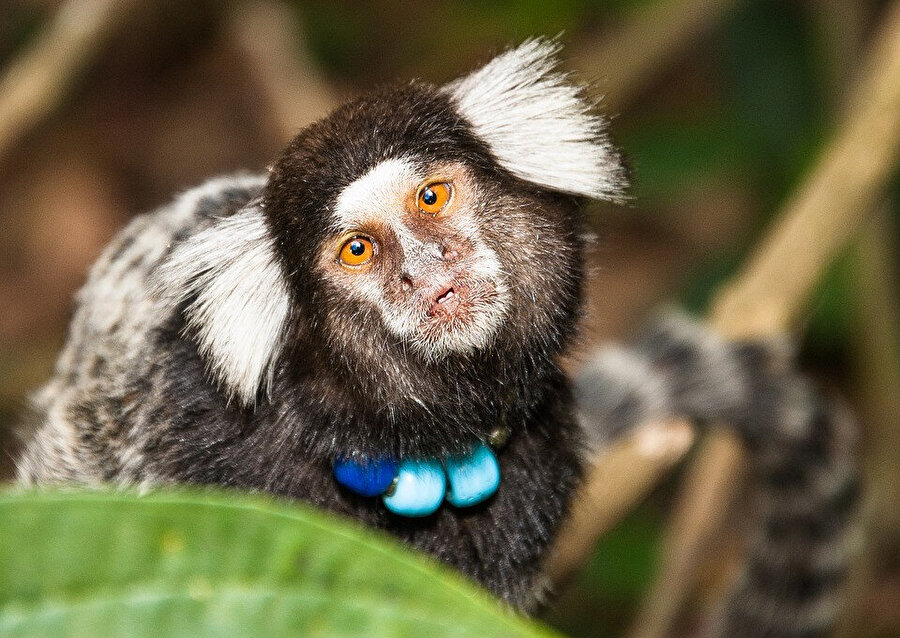 Kapuçin maymunu, Cebinae alt familyasına ait Yeni Dünya maymunları türüdür ve Yeni Dünya maymunları arasındaki en zeki türdür.
