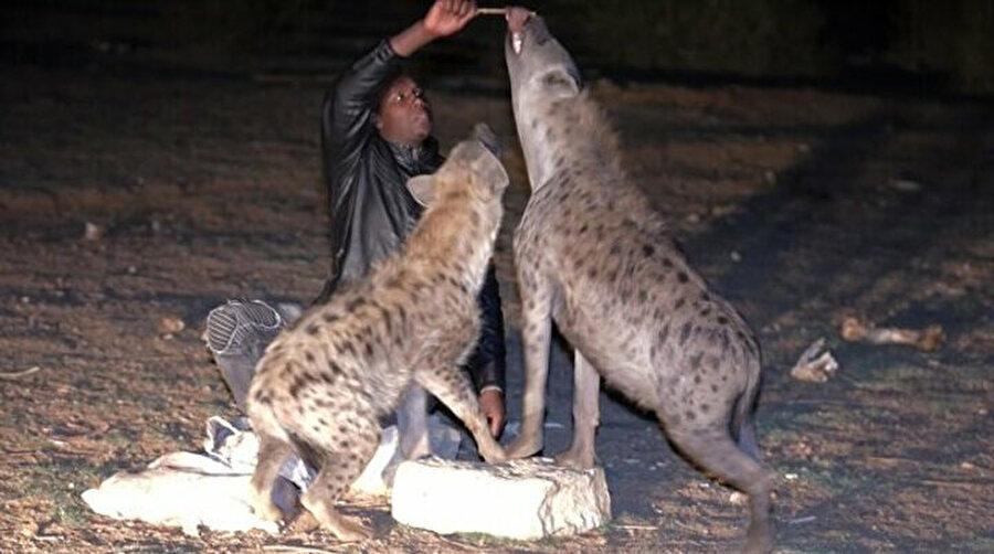 Harar'da erkekler elleriyle sırtlanları besliyorlar.