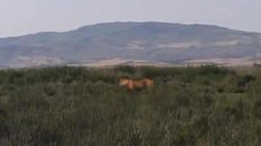 Aslan olduğu iddia edilen fotoğraf