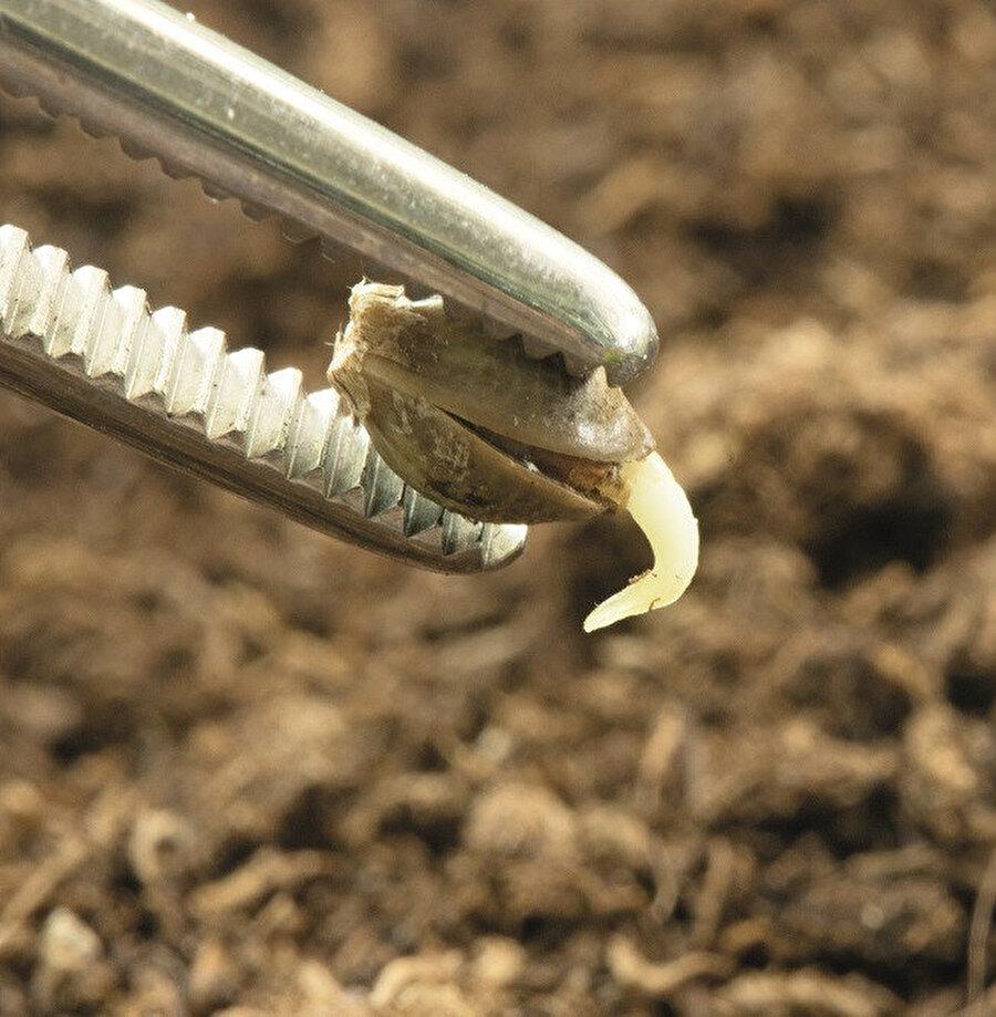 Yerli tohum dediklerimiz açık tozlaşma ile üretilen ve uzun yıllar boyunca çiftçiler tarafından kuşaktan kuşağa aktarılan tohumlar.