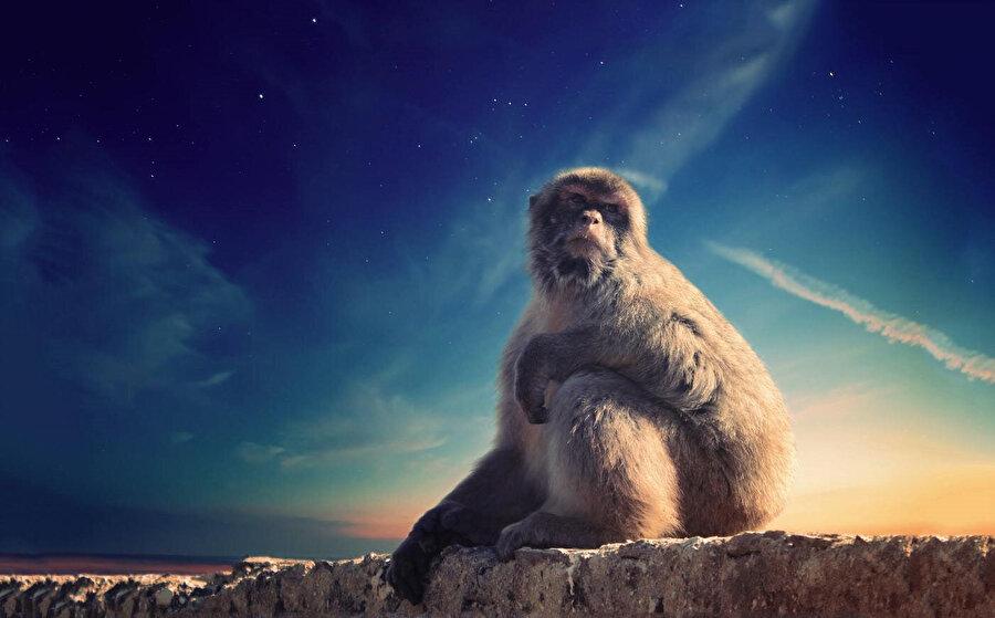 Berberi şebeği, köpeksi maymunlar familyasından Asya dışında yaşayan tek şebek türü. Cezayir'deki Atlas Dağları'nda, Fas'ta ve Cebelitarık'ta bulunurlar.