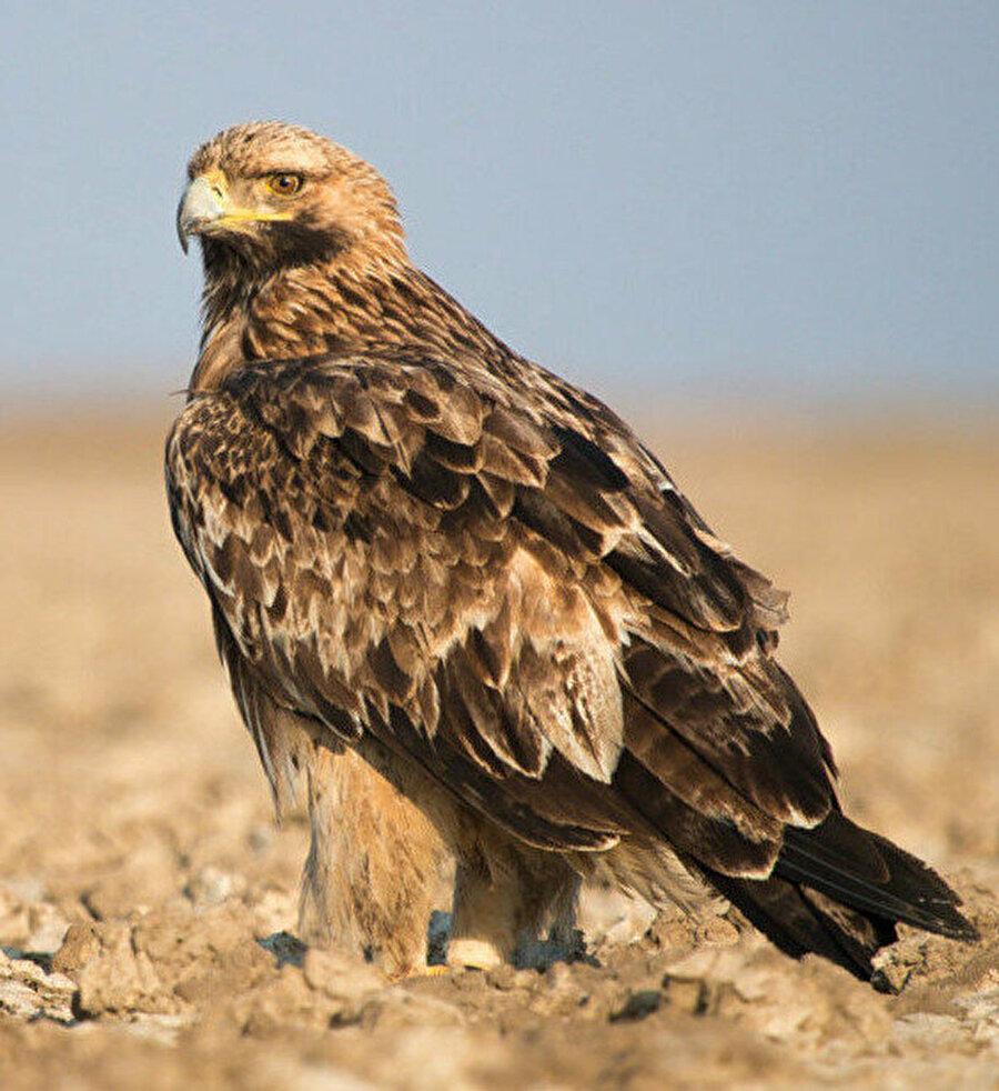 Yırtıcı bir kuş türü olan şah kartal ile ilgili çalışmalar yapıyorum. Onların üreme başarısına, kış dağılımlarına ve diyetlerine bakıyorum.