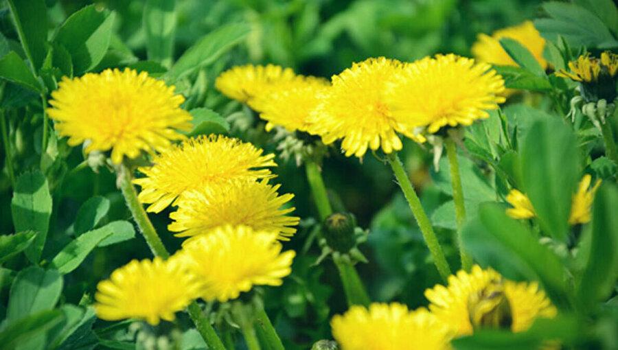 Karahindiba çiçeği.