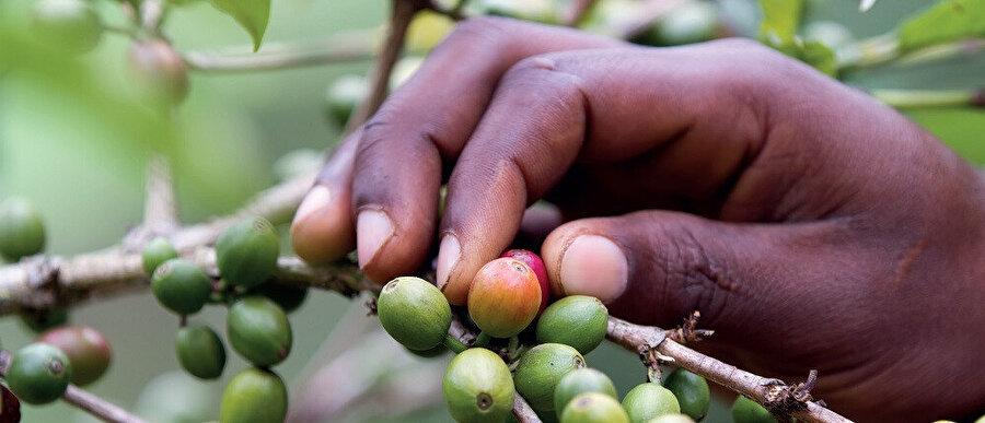Kahve meyvesi; büyüklüğü, şekli ve rengindeki benzerlikler nedeniyle