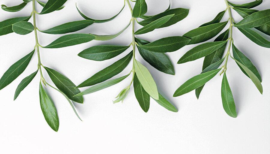 Zeytin yaprağının sadece çayının içilmesi gerekmiyor. Dalında taze filizlerden koparılan iki zeytin yaprağı ağızda çiğnendiğinde de; virüs, bakteri ve mantarları yok eden olyuropein maddesi kolayca dilaltından kana karışıyor.