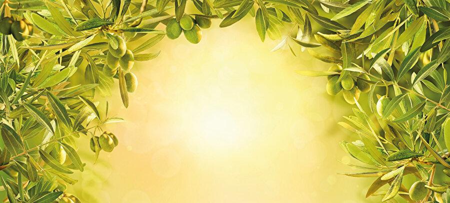Hormon baskılayıcılar ve genetik müdahalelerle bodurlaştırılanlar kısa ömürlü olsa da, kadim zeytin ağaçları bin ila 4 bin yıl arasında yaşarlar.