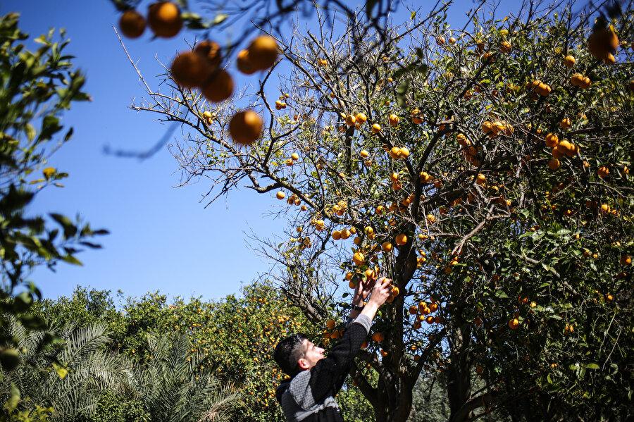 İsrail, sistematik bir şekilde Gazze'deki tarımı yok etmeye çalışıyor.