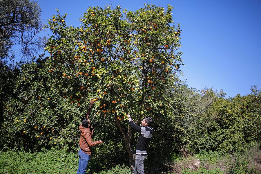 """Kentte, narenciye türleri arasında """"portakal, mandalina, limon ve greyfurt"""" bulunuyor."""