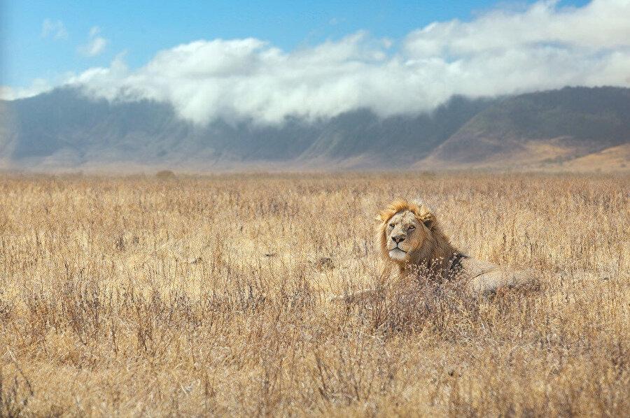 Ngorongoro Krateri, Doğu Afrika'da bulunan birçok hayvan türüne ev sahipliği yapmaktadır.