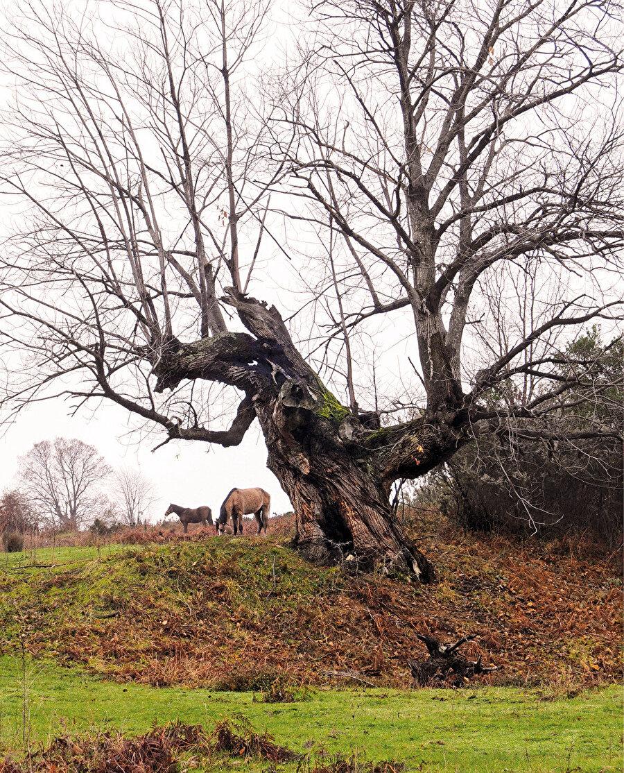 Şile kestane ağacı