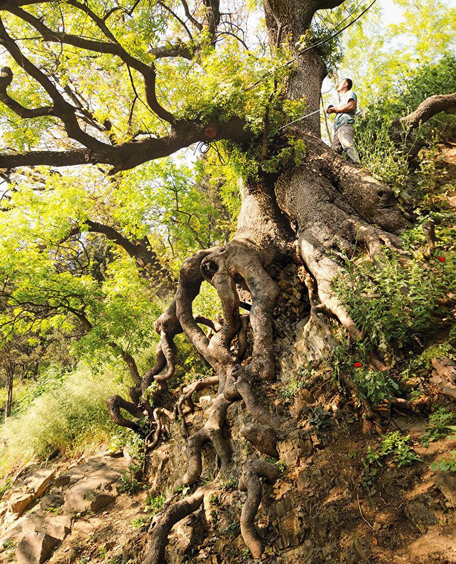 Salacak sakız ağacı