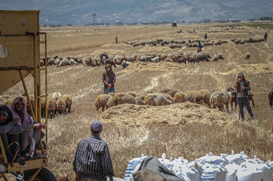 Hama, Halep ve İdlib kırsalında yaşayan halkın temel geçim kaynağı buğday.