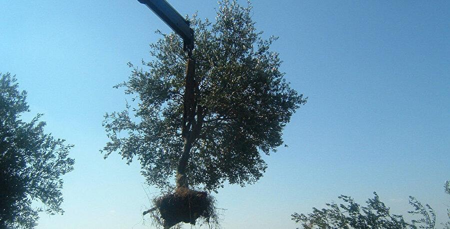 Bölgedeki Filistinlilere göre; İsrail, sökülen zeytin ağaçlarının bulunduğu bölgeleri sit alanı ilan ederek yasadışı Yahudi yerleşimlere zemin hazırlıyor.