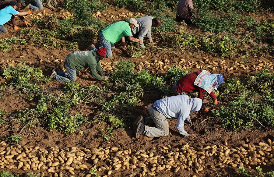 Mustafa eş-Şafii işçileriyle birlikte hasat zamanı gelen ve İsrail saldırılarında telef olmamış patateslerini toplamaya çalışıyor.