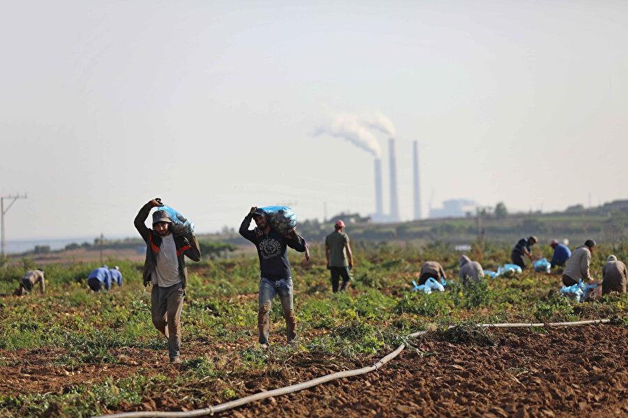 11 gün süren İsrail saldırılarında tarlaları zarar gören Gazzeliler, aileleri için kalan mahsullerini hasat etmeye devam ediyor.