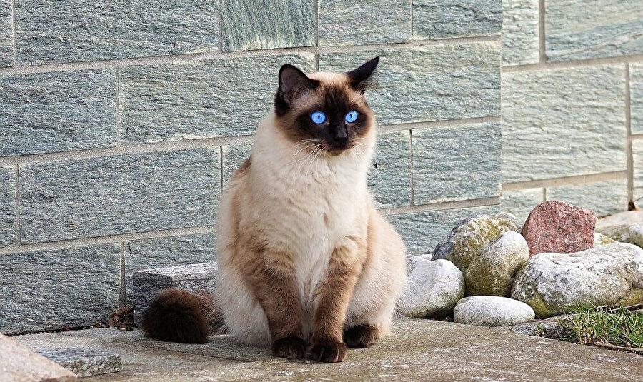 Kendini en çok temizleyen kedi cinsi siyam