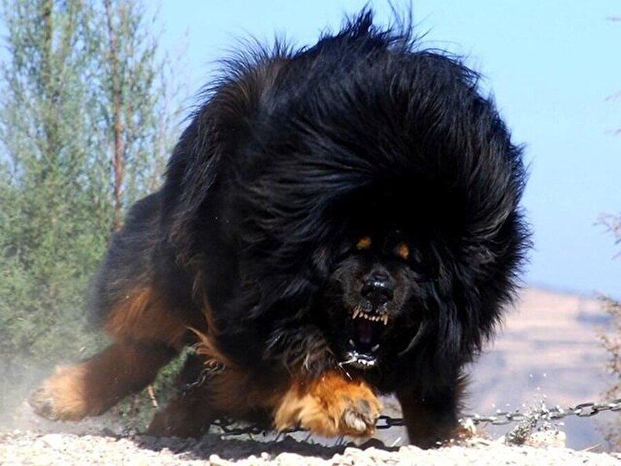 Tibet Mastifi                                                                           Tibet Mastifi, Kafkas Çobanıyla birlikte en iri köpek ırkı olarak bilinmektedir. Kulakları V şeklinde aşağıya doğru sarkık olduğu için bu köpeklerin büyük bölümünde duyma problemi söz konusudur. Yelesi gereği diğer ırklardan ayrılmakta olup Tibet Aslanı olarak da bilinmektedir. 15 yıl yaşayabilen bu ırk iyi bakıldığında 20 yıla kadar yaşayabilmektedir. Zeki olmaları gereği Tibet Mastifi birçok ülkede güvenlik amacı ile kullanılmaktadır. Safkan ırkların Amerika Birleşik Devletlerinde olmasından dolayı Türkiye veya herhangi bir Avrupa ülkesinde satılan Tibet Mastifi'nin değeri 1 milyon doları bulabilmektedir.