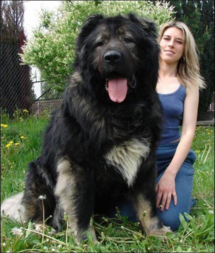 Kafkas Çoban Köpeği                                                                                                                                                                                          Akıllı ve zeki bir köpek türü olan Kafkas Çobanı soğuğa karşı oldukça dayanıklı bir ırktır. Evinizi ve arazinizi o olduğunda arkanıza bakmadan ona emanet edebilirsiniz. Aileye bağlı olsa da küçük çocuklarla bırakılması önerilmez. Ailenin dışındaki insanlara karşı her zaman tepki veren bir köpektir o nedenle dikkatli olunmalıdır. Bulunduğu alanı korumak için kendini feda edecek düzeyde bir köpektir. Çok fazla korumacıdır. Diğer köpeklerle ve türlerle arası hiç iyi değildir.