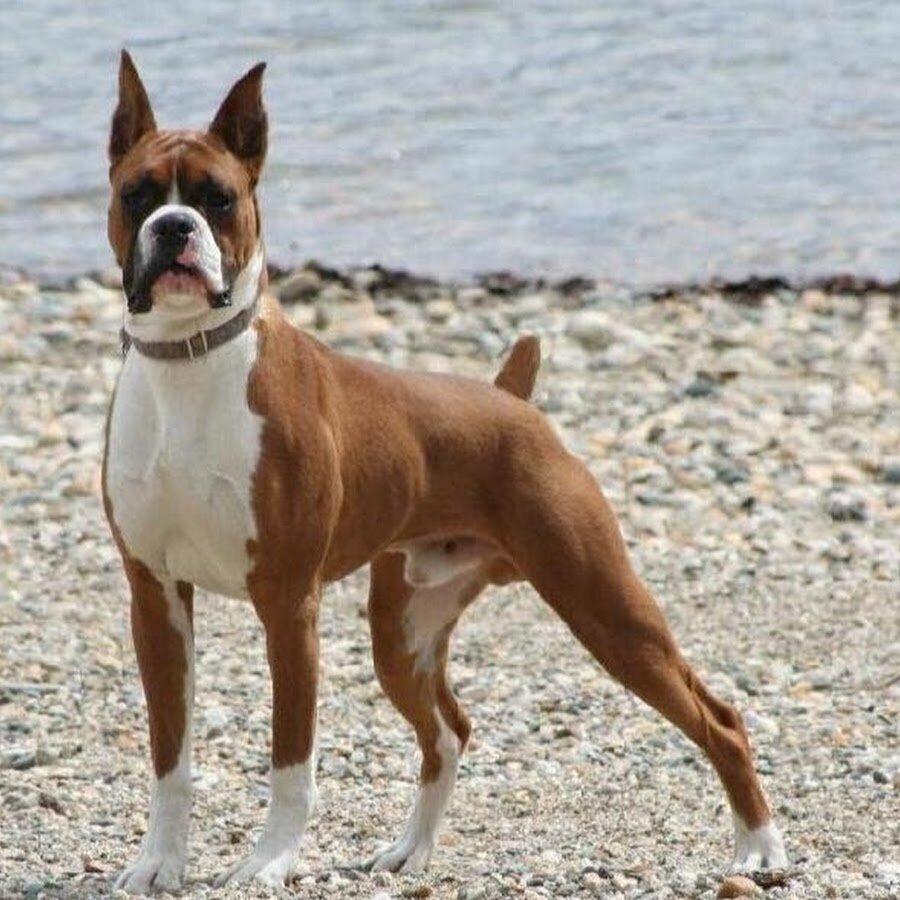 Boxer                                                                                                                                                                                          Boxer Almanya kökenli bir ırktır. Bu köpekler ilk başlarda av, boğa dövüşlerinde ve araba çekmek için kullanılan bir ırkken zamanla sakin bir yapıya kavuşmuştur. Yine de bekçi ve koruma köpeği olarak tercih edilmektedir. Mutlu ve enerjik bir yapısı olan bu ırk oldukça meraklıdır. Çocuklarla ve aile üyeleriyle arası oldukça iyidir. Tanıdıklara karşı iyidir ama tanıdık olmayanlara karşı savunmacı yapısı öne çıkar. Polis ve asker köpeği olarak kullanılmaktadır.