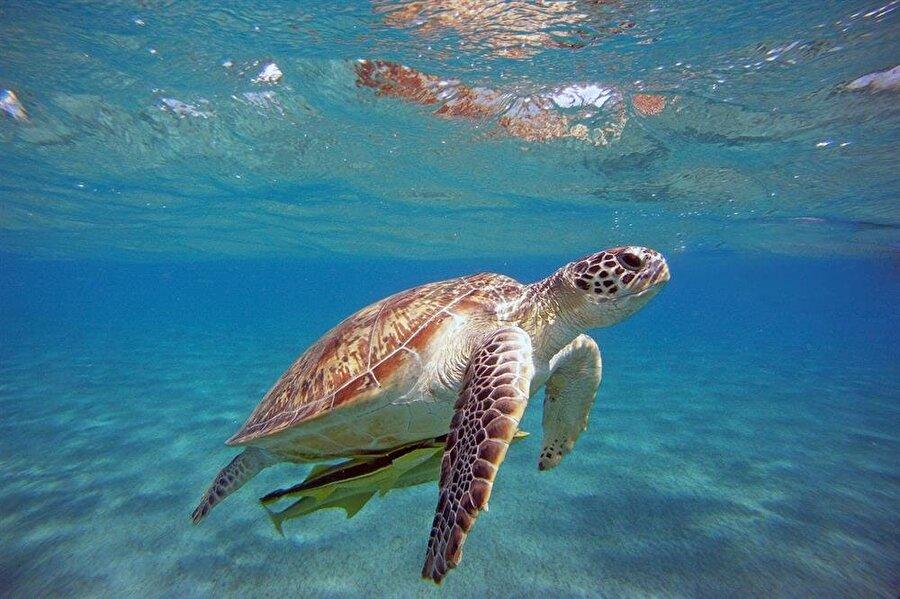 Caretta Caretta Caretta caretta, koruma altına alınan deniz kaplumbağası türüdür. Caretta caretta'lar bir kerede 100 yumurta bırakabilmektedir. Akdeniz sahillerini yaşam alanı olarak benimsemiş olan bu türün en çok görüldüğü yer Türkiye'dir.