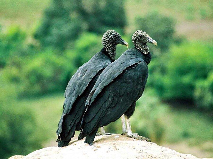 Kara Akbaba Kara akbaba gündüz avlanan bir canlıdır. Yaşlı ormanların olduğu bölgede yaşayan bu türün nesli tehlike altındadır. En büyük popülasyonu Çorum'dadır. Türkiye'de sayılarının 50 civarında kara akbaba kaldığı düşünülmektedir.