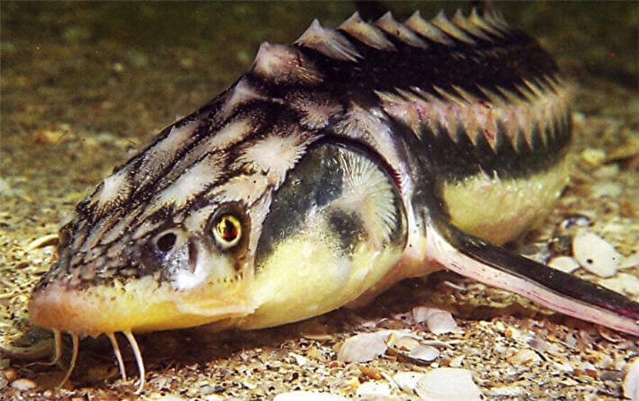 Kolan Balığı  Avrupa kıyıları ve Karadeniz'de görülen kolan balığı nesli tükenmekte olan türler arasında.
