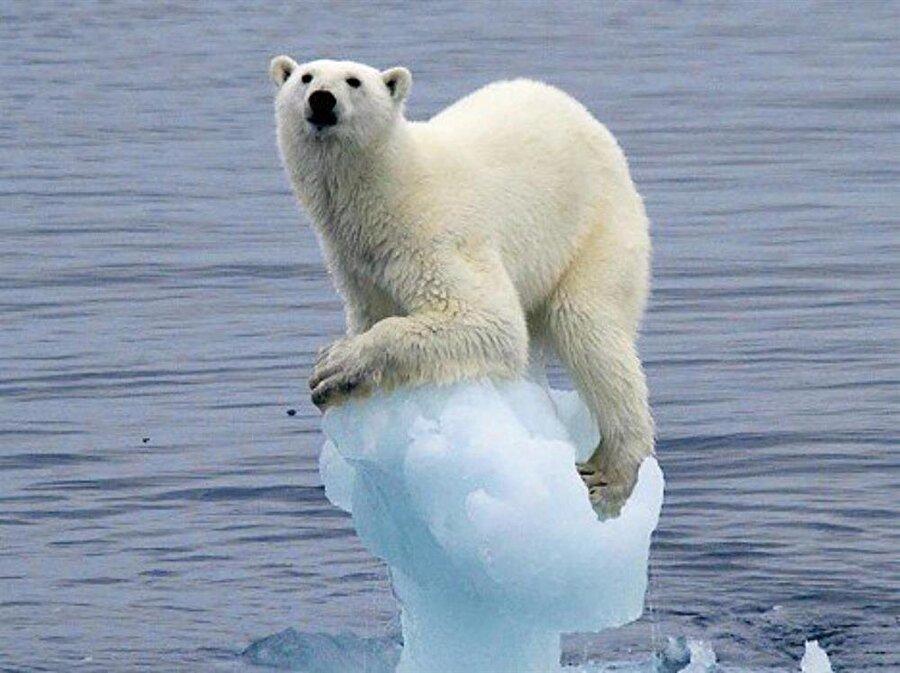 Kutup Ayısı Kutup bölgesi dediğimizde ilk aklımıza gelen canlı olan bu tür, izinsiz avlanma ve kutuplardaki buzulların erimeye başlaması ekolojik dengenin bozulmasıyla türü tehdit altına girmiştir. Küresel ısınmayla her geçen gün azalan kutup ayılarının sayısının 25 bin civarında olduğu varsayılıyor.