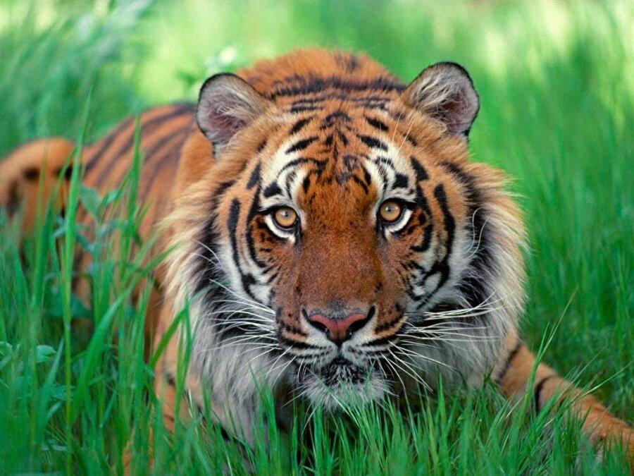 Sumatra Kaplanı Sumatra kaplanı tür olarak risk altında olan türlerden biridir. Kedigiller familyasının en küçük kaplan türüdür. Sumatra kaplanlarının sayısı 400'ün altına düşmüştür. Sumatra Adasının tahrip edilmesi ve ormanın yarı yarıya bitilmesi, kaçak avlanma gibi durumlar bu güzel kaplan türünün neslini tükenme durumuna getirmiştir.