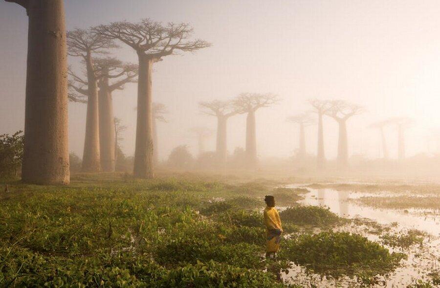 Madagaskar'ın baobab ağaçları