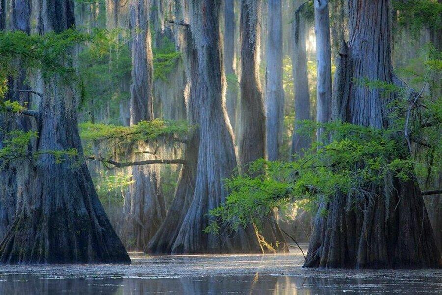 Selvi ağaçları, Caddo Gölü