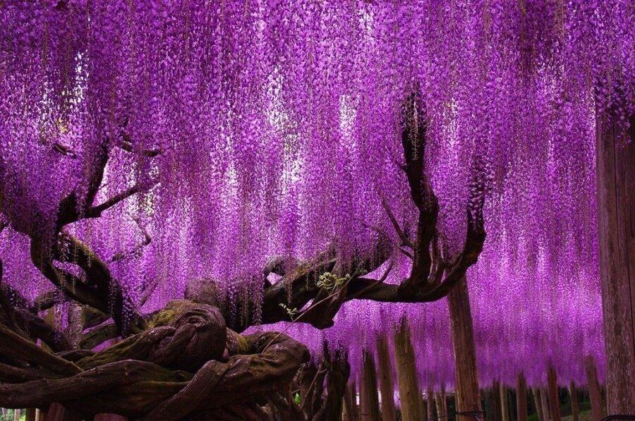 Wisteria ağaçları, Japonya