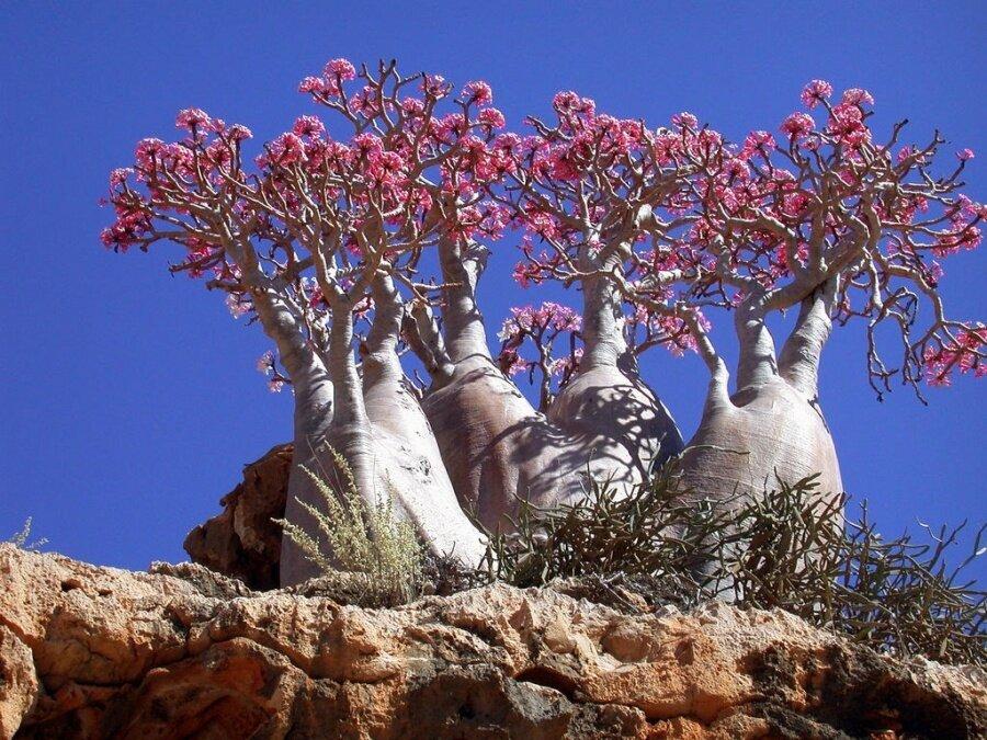 Bottle ağaçları, Sokotra Adası
