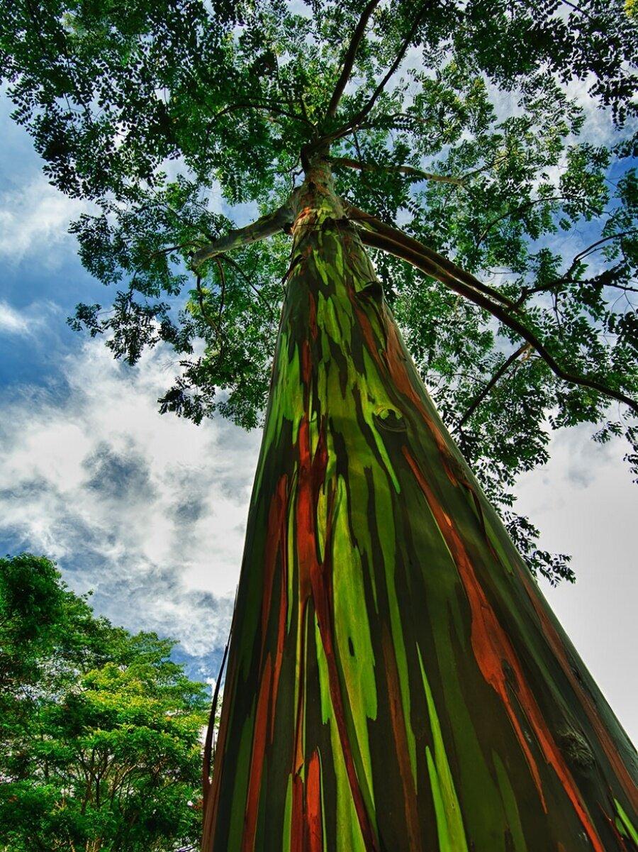 Gökkuşağı Okaliptüs ağaçları, Hawaii