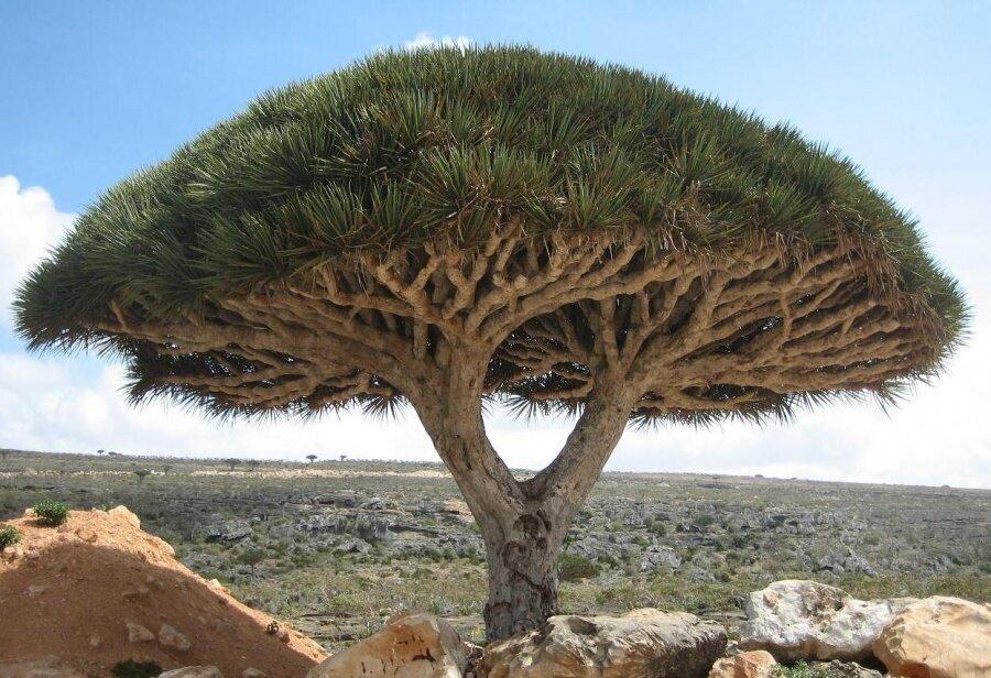 Bir ejderha ağacı, Sokotra Adası