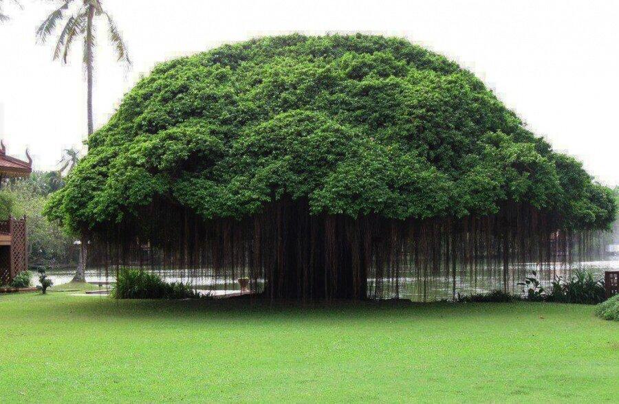 Filipinler'den bir ağaç