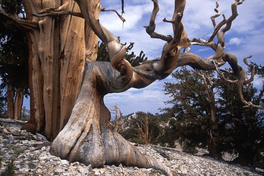 Dünyanın en eski ağaçları, Bristlecone çamı