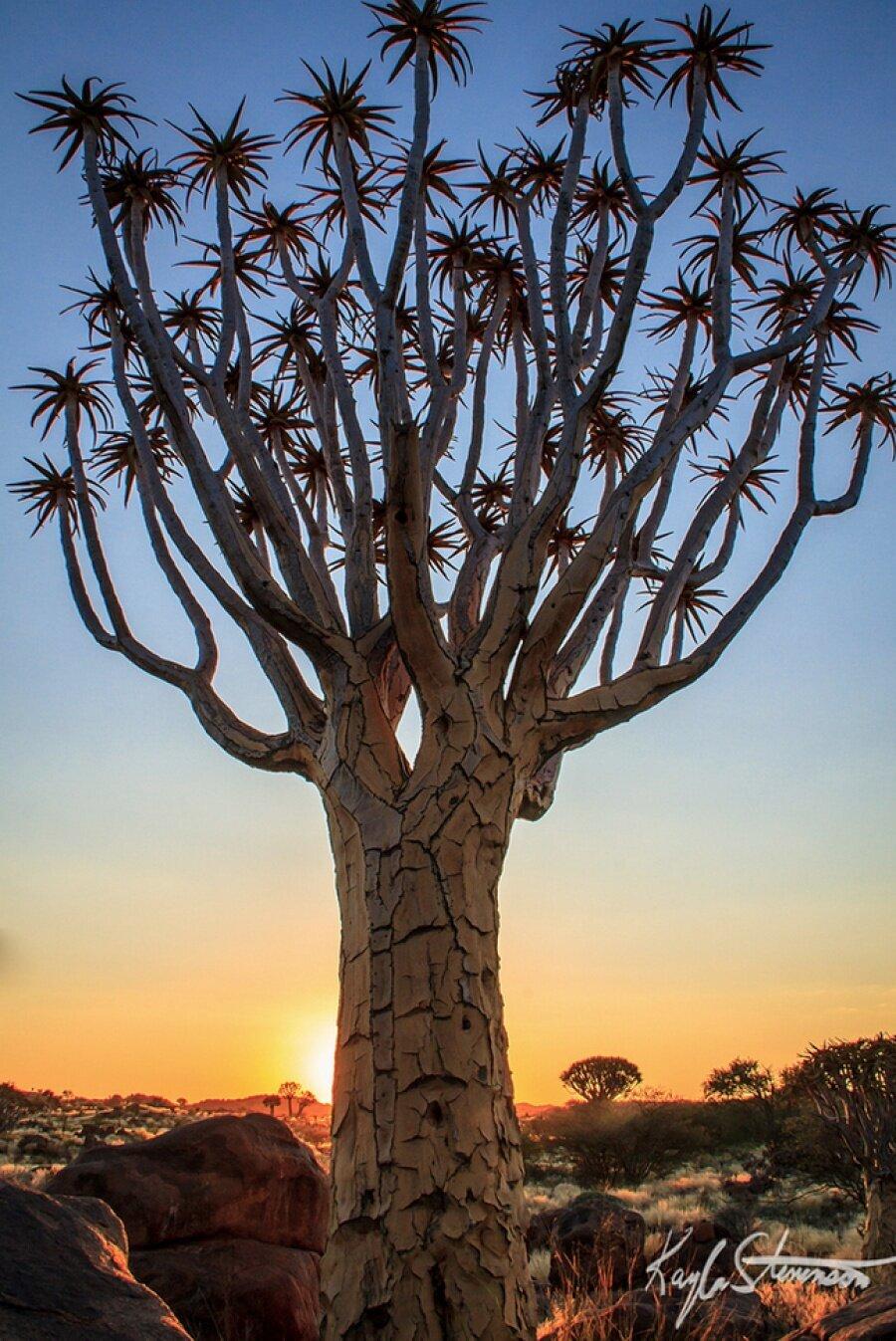 Titreyen ağaç, Namibya