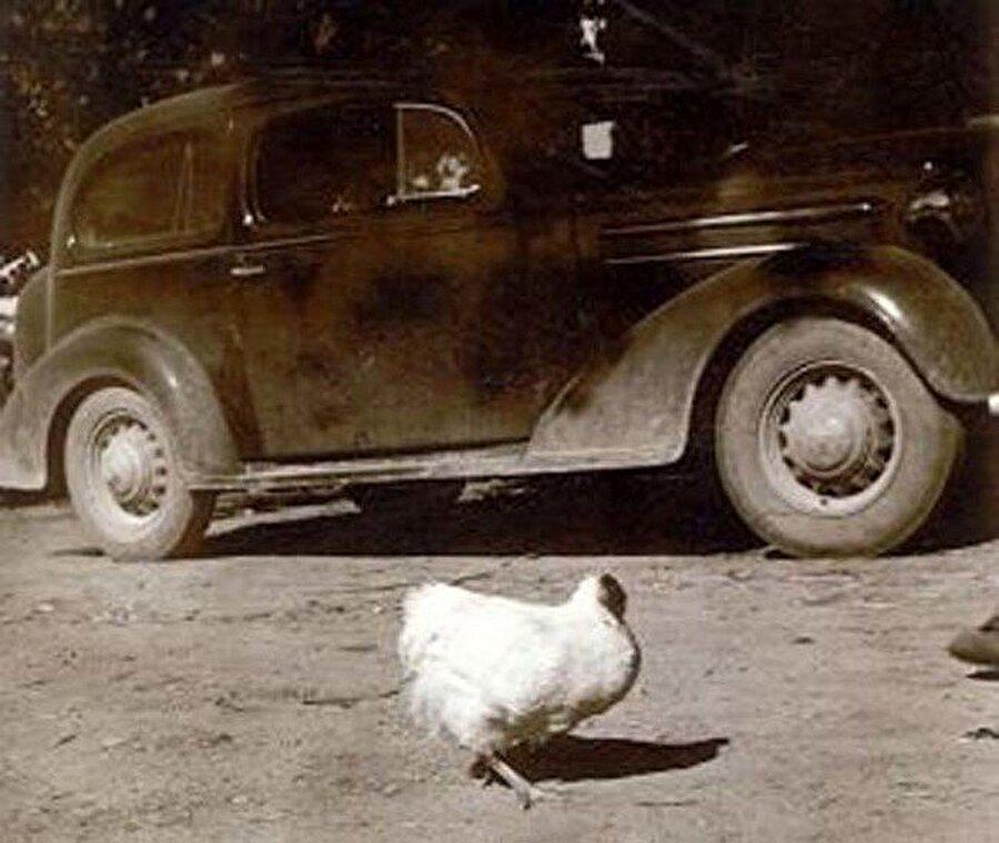"""""""Herşeye"""" rağmen hayatta kalan tavuk Mike                                                                                                                1945 yılında ABD'nin Colorado eyaletinde yaşamlarını hayvancılıktan ve tarımdan kazanan Olsen ailesi tavuklarından bazılarını kesip satmaya karar verdi. Llyod Olsen ve karısı toplamda 30-40 tane tavuk kesip tüylerini yolduklarında beklemedikleri bir şeyle karşılaştılar. Tavuklardan birisi başı kesilmiş olmasına rağmen hala hayattaydı. Bu tavuk şaşkın bakışlar içerisinde kafası kopuk bir şekilde sağa sola koşmaya başladı."""