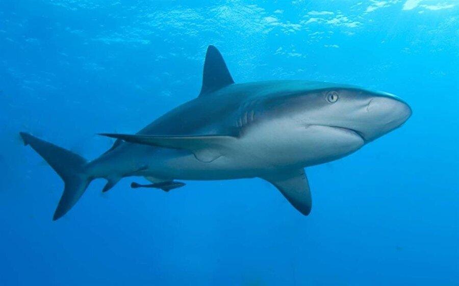 Marmara köpek balığı kaynıyor! Balıkçılar, sn zamanlarda köpek balıklarının sayısında aşırı artış yaşandığını açıkladı.  Onlara göre bu durum, balık bolluğundan kaynaklanıyor.