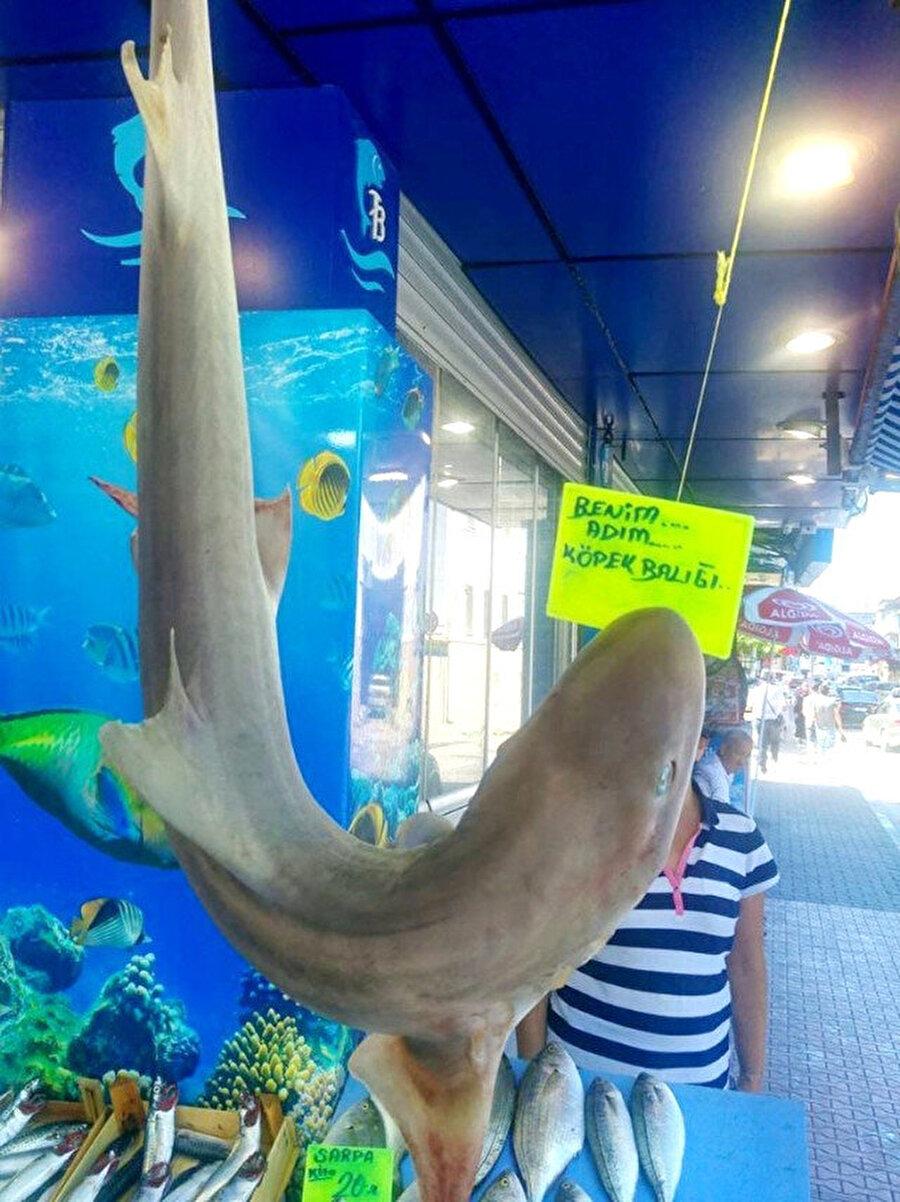 Balıkçılar da şaşırdı! Marmara Denizi'nde avlanan amatör balıkçıların ağlarına bile takılacak kadar çoğalan köpek balıkları, başta balıkçılar olmak üzere herkesi şaşırtıyor.     Bursa'nın Mudanya ilçesinde balıkçı tezgahlarında her gün birkaç köpek balığı teşhir ediliyor. Son olarak balıkçı ağlarına takılan camgöz cinsi köpek balığı bir balıkçıda sergilendi.