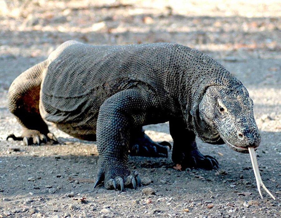 Komodo Ejderi                                                                                                                                                     3 metrelik uzunluğu ve ortalama 70 kilogramlık ağırlığı ile dehşet saçan komodo ejderi, oldukça iyi bir tırmanıcı ve yüzücü olmasıyla da dikkat çekiyor. Büyükbaş hayvan boyutlarındaki canlıları bile birkaç saniyede öldürebilmeleri mümkün…