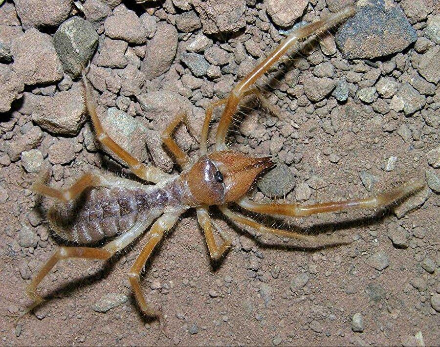 Böğ                                                                                                                                                      Örümceksi eklembacaklılardan olan bu tür, 153 farklı cins ve 1000 türe sahip. Oldukça hızlı olan böğ, genel olarak Güneydoğu Anadolu Bölgesi'nde yer alıyor…