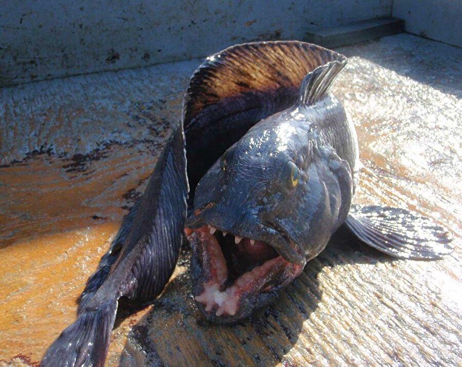 """Atlantik Kurt Balığı                                                                                                                                                      """"Deniz kurdu"""" ve """"Atlantik kedi balığı"""" isimleriyle de anılan bu tür 150 santimetrelik boya ve 24 kilogramlık ağırlığa ulaşabiliyor. Derin denizler onların yaşam alanı…"""