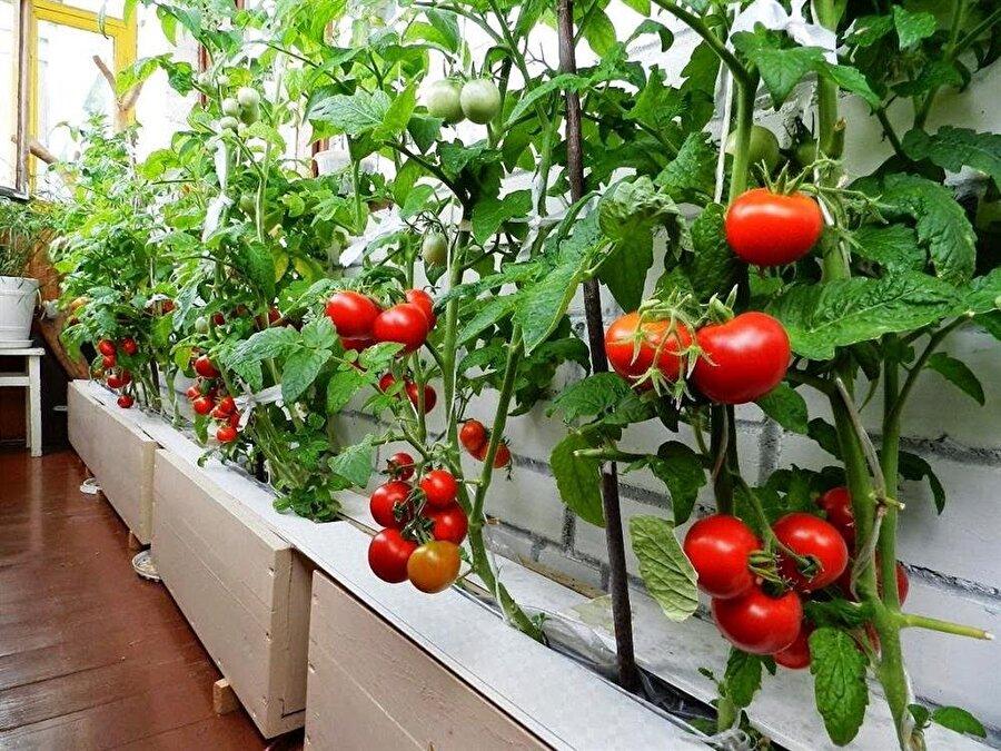 Yedinci adım, domatesleri gün içinde en az 8 saat güneş ışığı alacağı bir yerde konumlandırmanızda fayda var. Domatesler renklendikçe ve kıvama geldikçe hasat edebilirsiniz.