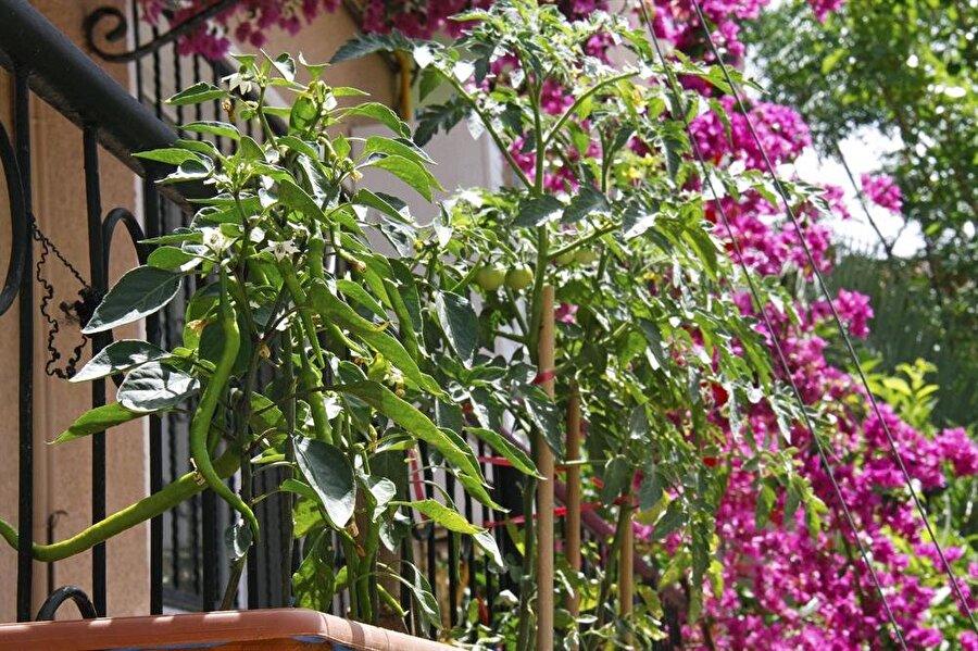* İpucu                                                                           - Domatesleri nakil ederken köklerin çok dipte olmasına dikkat edin. - Domates tanelerinin olduğu yaprakları temizlemeyin.     - Kahve ile topraktaki zararlı organizmaların toplanmasını önleyebilir, toprağın asidik oranını arttırabilirsiniz.     -Hava soğuduğu zaman yeşil kalan domatesleri toplayabilirsiniz. Bu domateslerin daha fazla olgunlaşma durumu yoktur.     -Domatesleri tek başına dikin, yanına herhangi bir sebze ya da meyve ekmemeye özen gösterin.