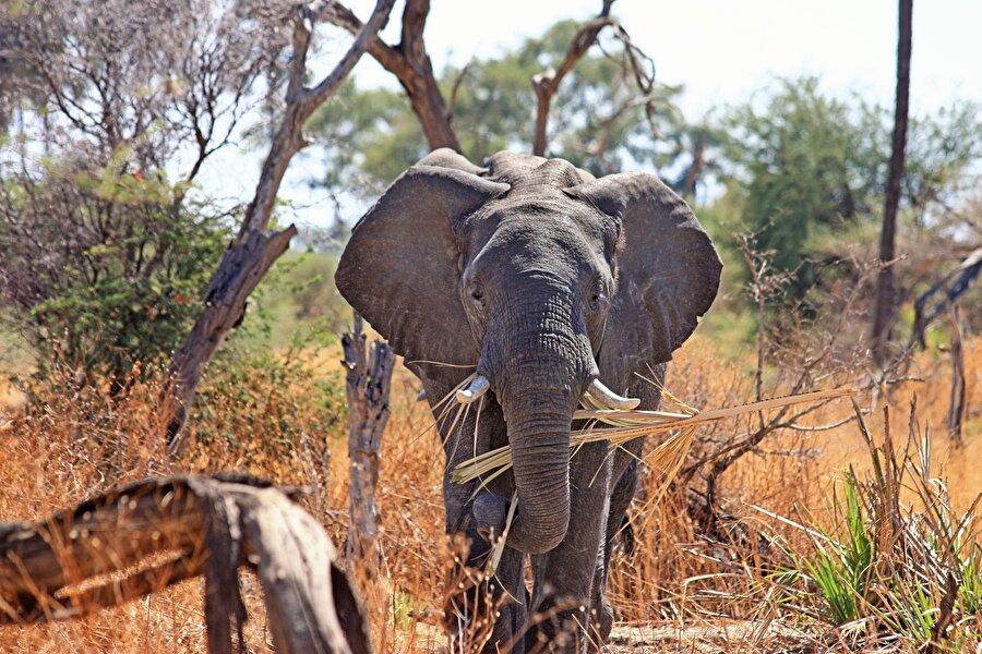 7. Güney Afrika'da En büyük kara memelisi (fil), en büyük kuş (devekuşu), en uzun hayvan (zürafa), en büyük balık (balina köpekbalığı), en büyük sürüngen (deri sırtlı kaplumbağa), en hızlı kara memelisi (çita) ) ve antilop bir arada yaşamaktadır.