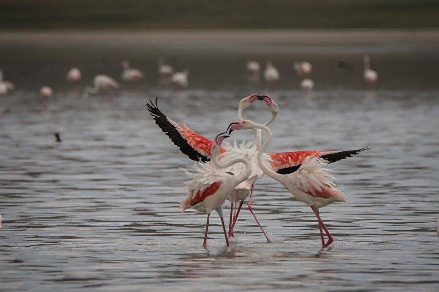 Akgöl'e ulaştılar Kış aylarını Kuzey Afrika'da geçirdikten sonra beslenme ve dinlenme amacıyla Van Gölü havzasına gelen, aralarında flamingoların da bulunduğu 45 civarında su kuşu türü, daha önce kuraklık yaşanan ancak son zamanlardaki yağışlar dolayısıyla yeniden hayat bulan Akgöl'e ulaştı.