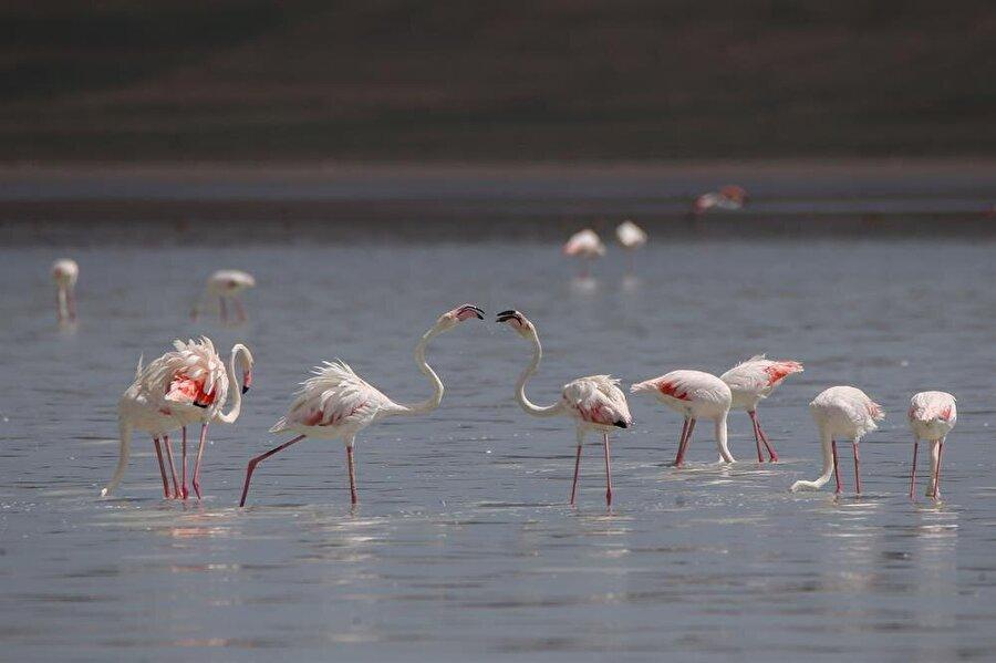 Bahar ayındaki rota: Kuzey yarım küre Van Yüzüncü Yıl Üniversitesi (Van YYÜ) Biyoloji Bölümünden Dr. Erkan Azizoğlu, yaptığı açıklamada, kış aylarını güney yarım küredeki Kuzey Afrika'da geçiren flamingoların, bahar aylarında beslenme ve üreme ihtiyaçları için kuzey yarım küreye geçtiklerini belirtti.